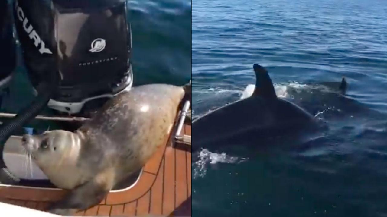 חמוד אך מפוחד: כלב ים בורח מאורקה ומטפס על סירה