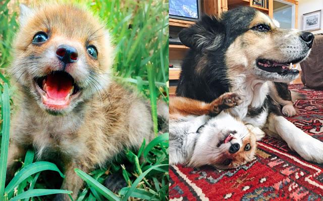 foxandhound4