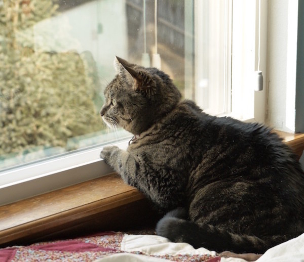cat-looking-out-window_0-600x518