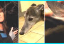Woman Finds Stray Greyhound In Woods, Then Vet Looks At Animal's Ear And Spots Tattoo