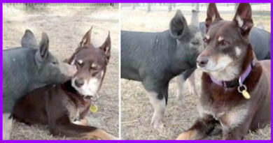 3 Piglets Who Survived Horrible Conditions Are Saved, Then Fall In Love With Rescue Dog