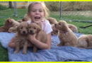 Golden Retriever Puppies See Girl Sitting On Their Blanket And Can't Resist Swarming Around Her