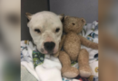 This seriously wounded dog refuses to let go of his teddy bear